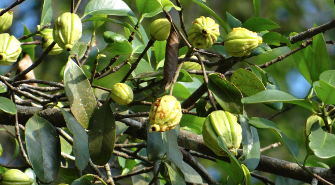 Garcinia Cambogia – What's the Connection to Weight Loss?